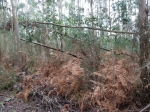 A proliferación de eucaliptos no monte aumenta o risco de lumes_foto de Ar Ceive, enFacebook