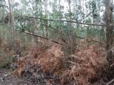 O eucalipto afoga os montes galegos