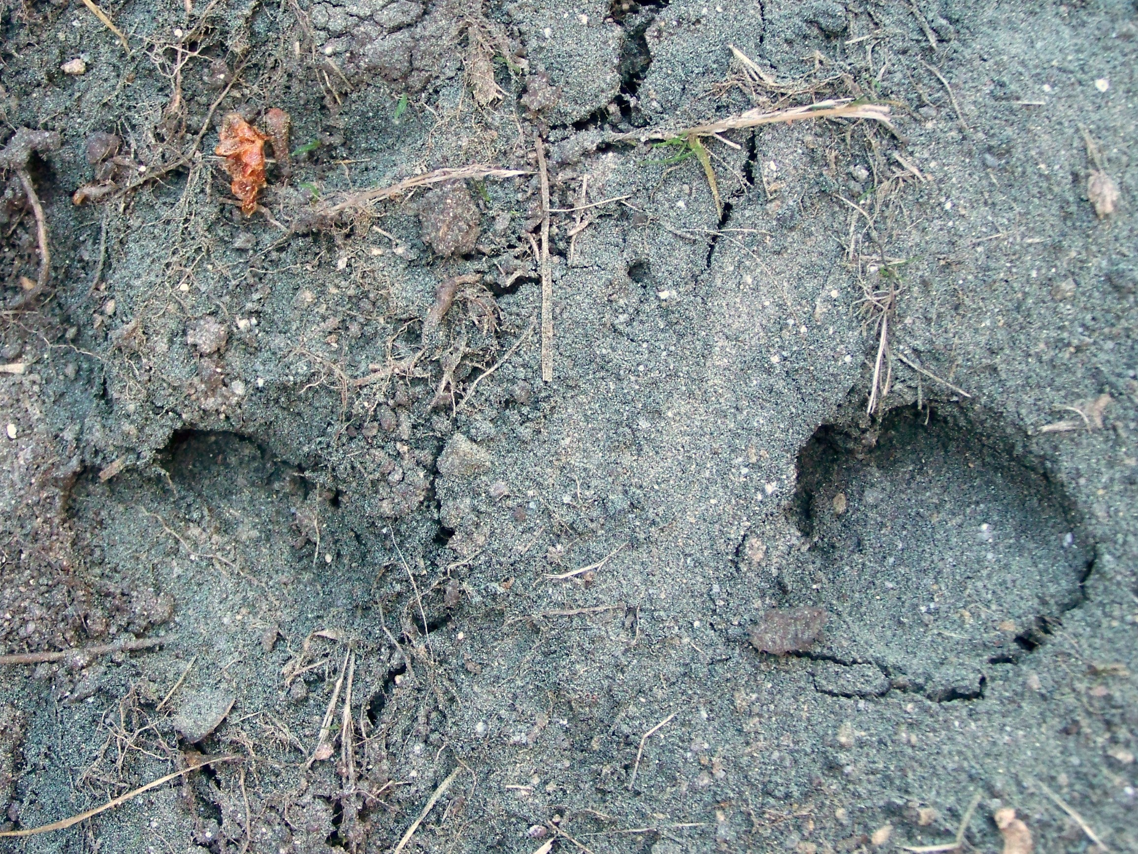 Pegadas de xabarín no Monte Pituco.