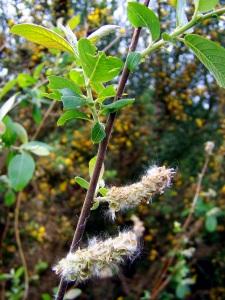 """""""Salix"""", salgueiro."""