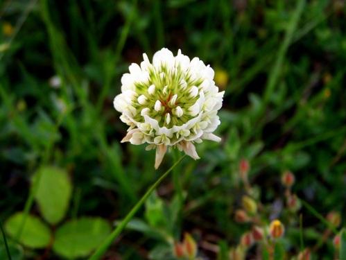 """""""Trifolium repens""""."""