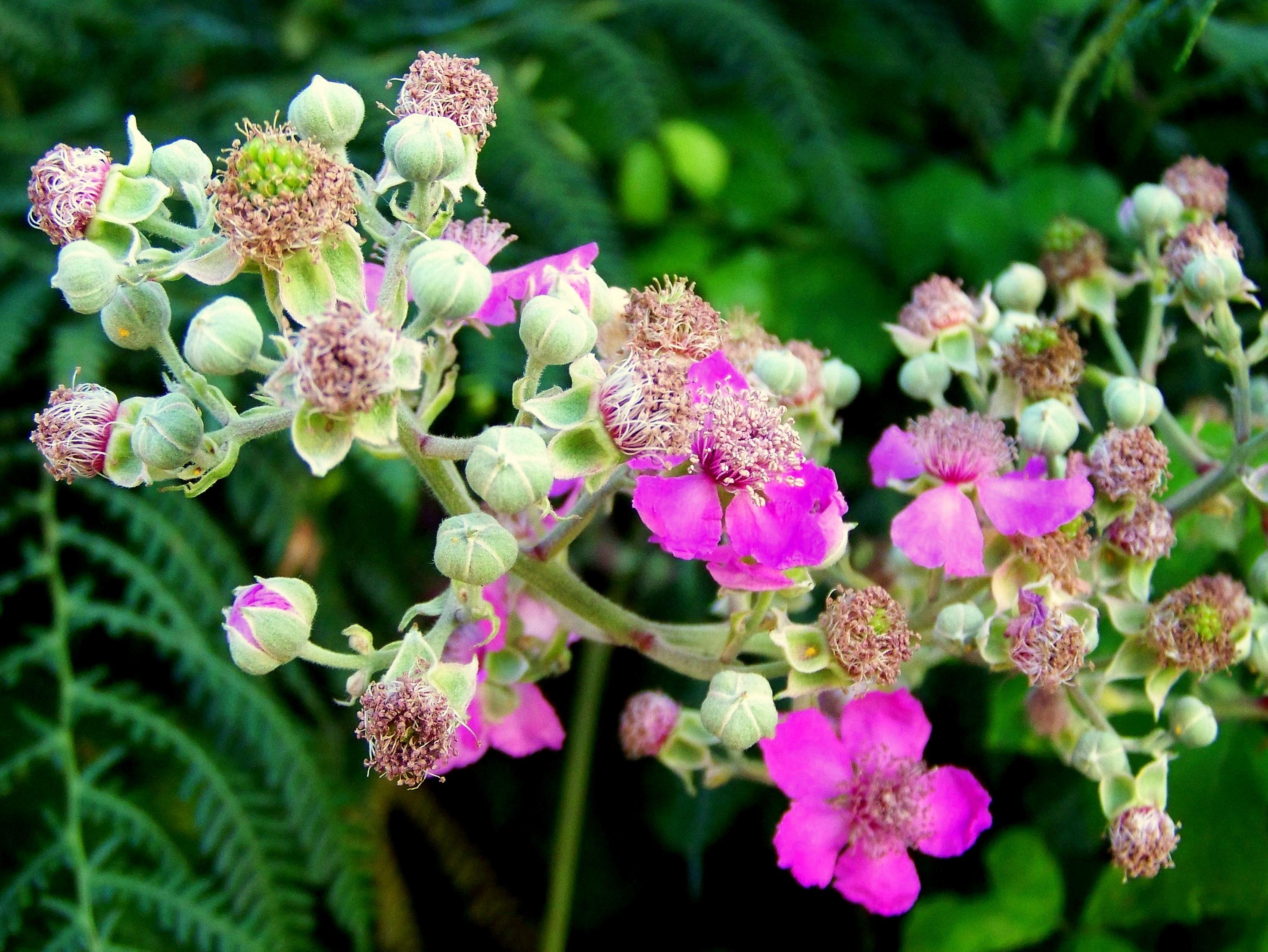 Silva, 'Rubus ulmifolius'.