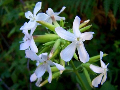 Herba concheira ou xabroneira (Saponaria officinalis).