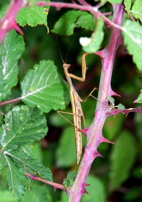 Mantis relixiosa localizada na pista forestal do Pornedo.