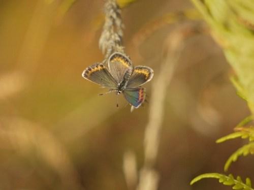 Cara superior de ás de femia de niña (Plebejus argus)