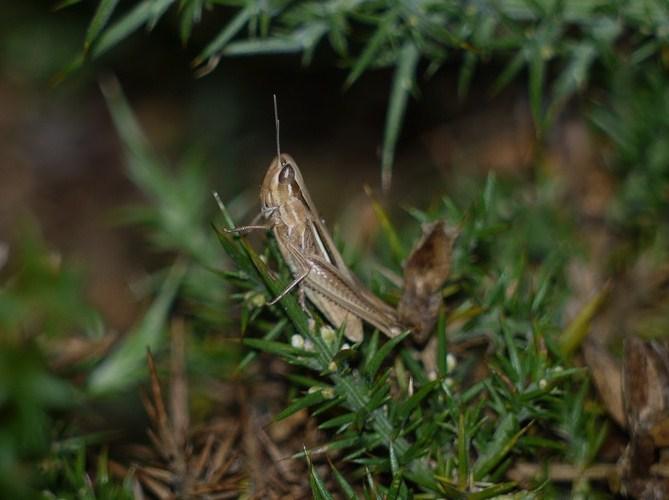 Chorthippus albomarginatus