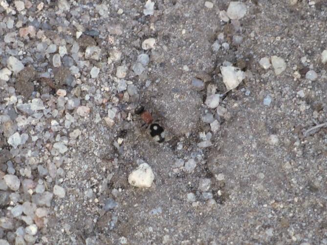 Dasylabris maura