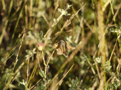 Dourada de liña longa (Thymelicus flavus) II