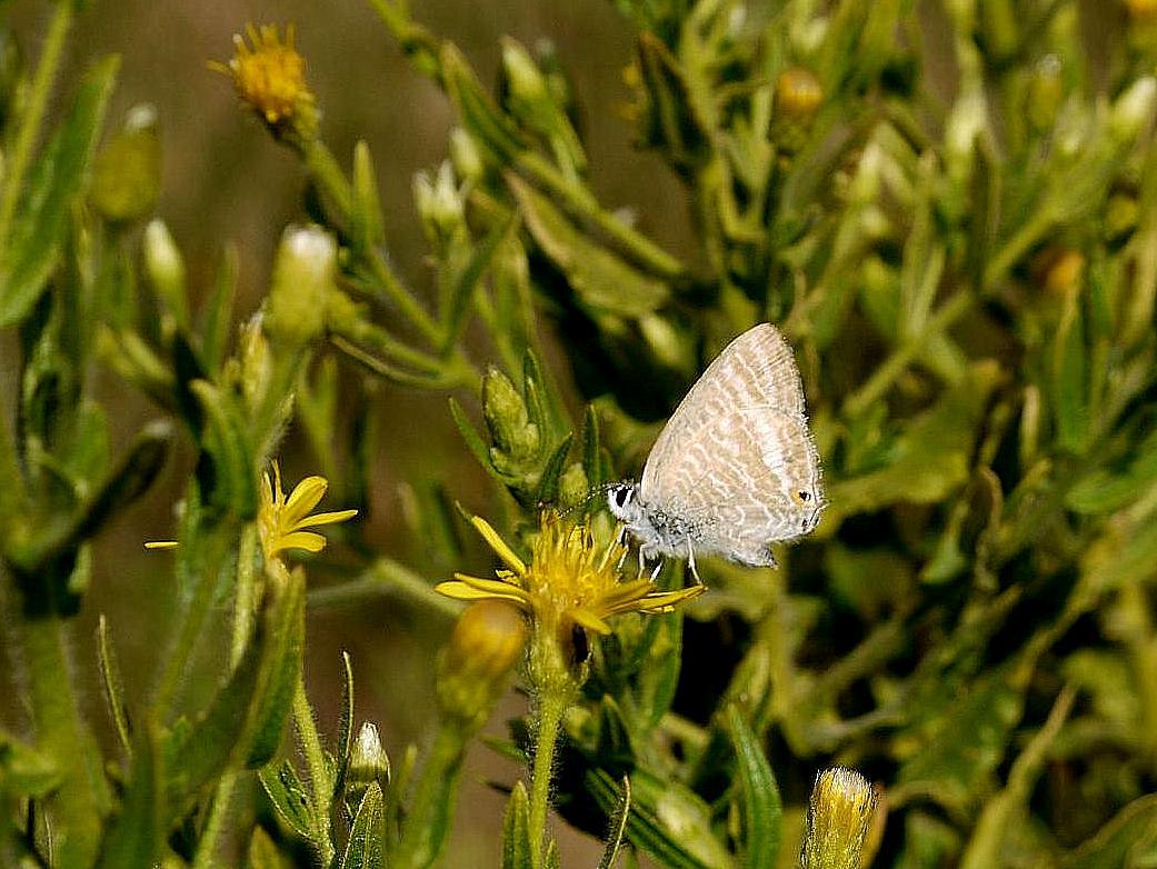 Lampides boeticus (canela estriada). Foto de Cándido Martínez.