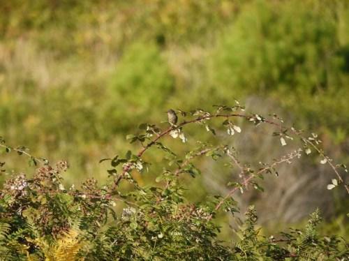 Papuxa montesa (Sylvia undata)