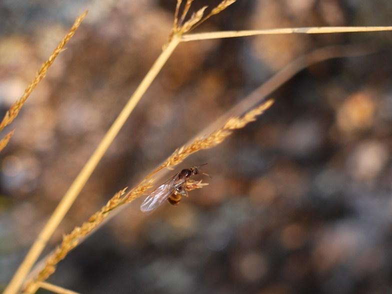Raíña alada de formiga (Messor barbara)