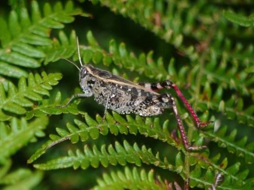 Saltón de á listada (Stenobrothrus lineatus)