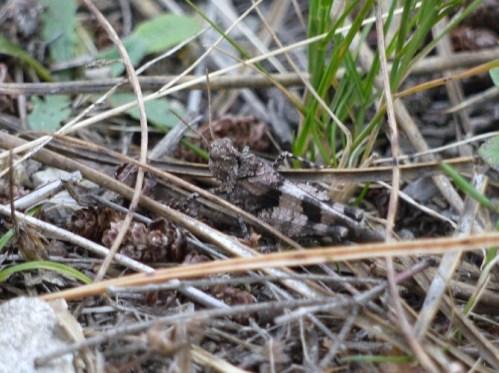 Saltón de ás azuis (Oedipoda caerulescens)