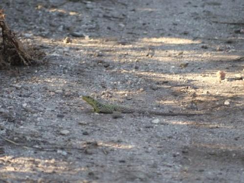 Subadulto lagarto arnal (Timon lepidus)