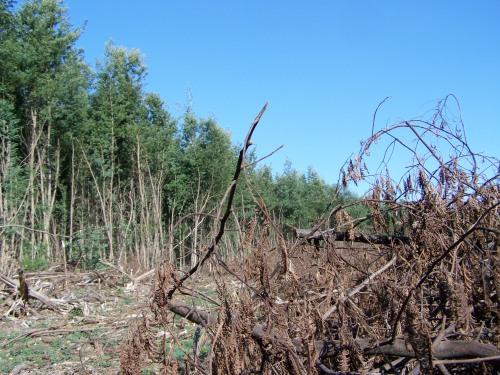 No monte comunal de Salcedo estase facendo unha importante intervención para eliminar a praga de acacias que ocupa unha ampla extensión de terreo.
