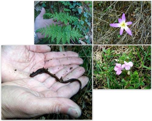 Saramaganta, a especie faunística máis importante do Pornedo, xunto con elementos botánicos destacados desta zona.