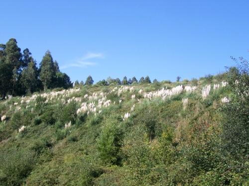 Praga de herba da Pampa no recheo de terra realizado a carón do Monte Pituco, a carón da Variante.