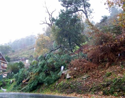 Protección Civil tivo que talar un piñeiro que se desplomou contra a estrada.