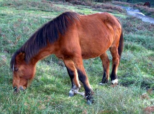 Cabalos coas patas ATADAS con cordas ou trabadas con pexas. no Monte Pituco.