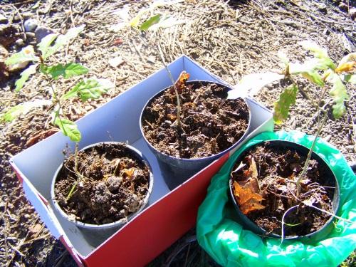 Os carballos, antes de ser plantados.