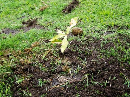 Celebrando por anticipado o Día da Árbore, coa plantación simbólica de varios carballos no itinerario do roteiro.