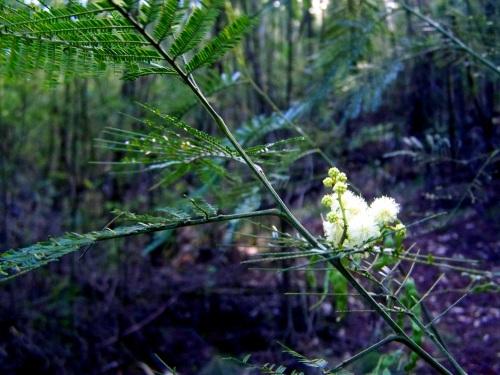 Especies invasivas como as mimosas, unha das lacras do monte.