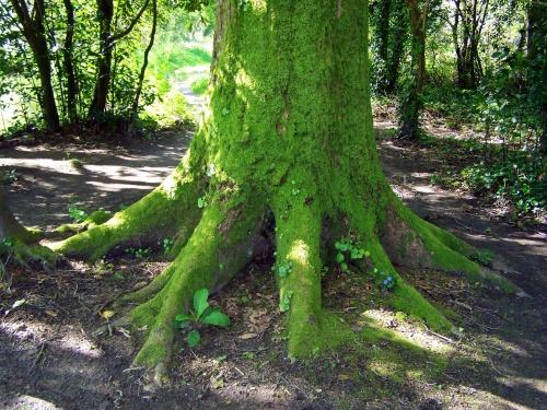 As raíces dun robusto carballo na ribeira do Gafos.