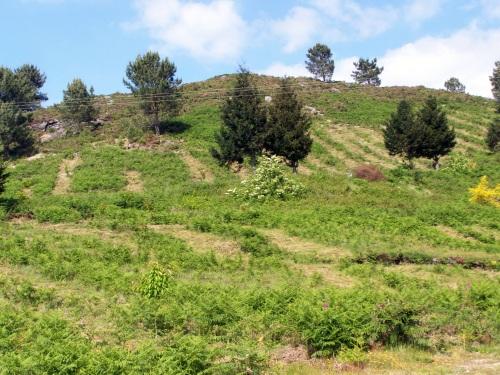 Traballos de desbroce arredor das árbores novas coas que se repoboou o Monte Pituco.