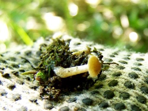 Fungos minúsculos que están estudando os biólogos do Gafos.