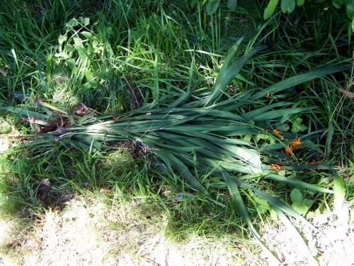 Plantas invasivas que foron arrincadas: tritonia.