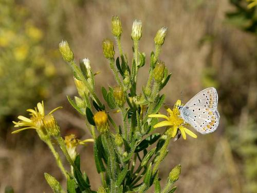 Polyommatus icarus (dous puntos). Foto de Cándido Martínez.