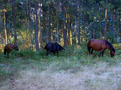 Grupo de cabalos pacendo no Pornedo.