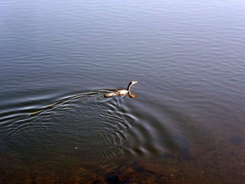 Corvo mariño no río Lérez.