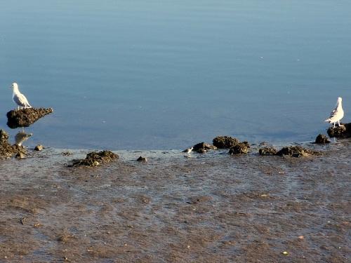 Un andarríos entre dúas gaivotas.