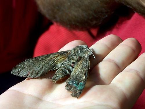 """Restos dun exemplar de bolboreta """"esfinxe""""..."""