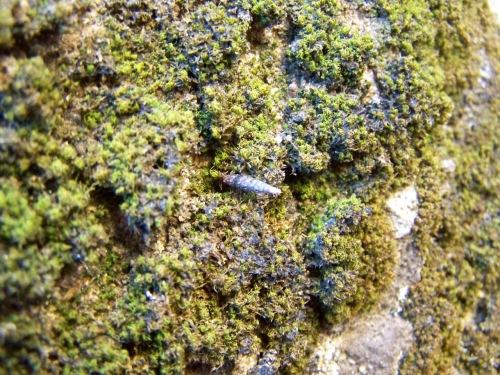 Entre os brións (murgos), viven varias especies de caracois diminutos.