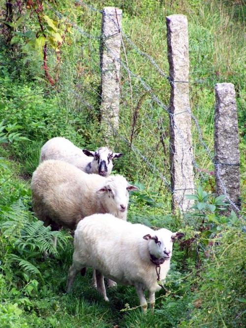 Espectadores ovinos en Birrete.