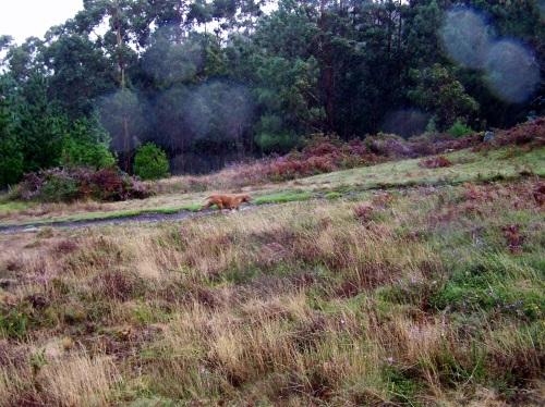 As mandas de cans de caza volven correr polo Monte Pituco.