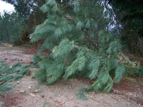 da pista forestal do Pituco