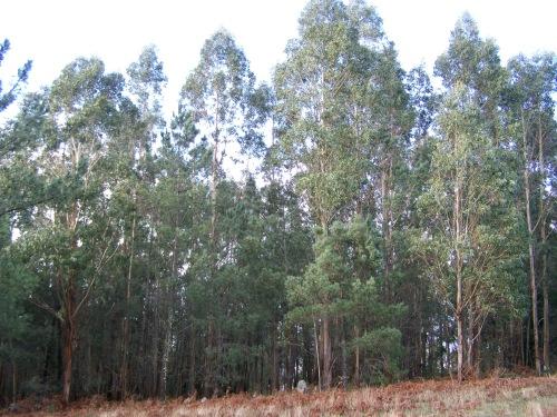 A maior parte da masa forestal da parroquia son eucaliptos.