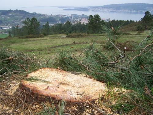 Tala ilegal de piñeiros no Monte Pituco.