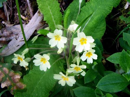 Prímula acaulis, coñecida como primavera, preto do Lameira.