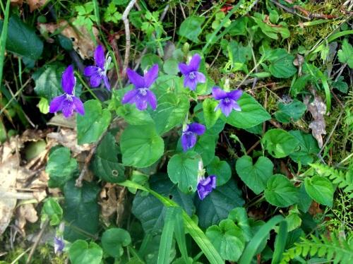 Flores do xénero das violáceas, preto do Lameira.