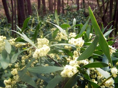 As acacias invaden a senda do Lameira.