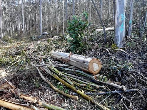 Tala de madeira a carón dos petroglifos da Carrasca (foto, Paulo Troitiño).