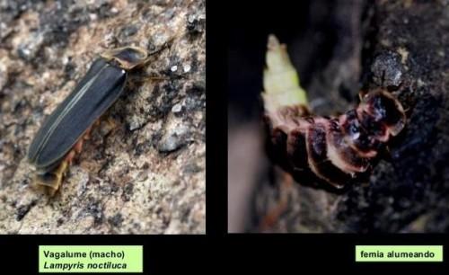 Imaxes de vagalume macho e femia.