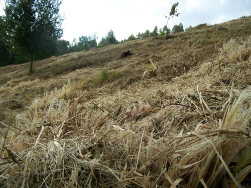 Unha vez máis, as herbas da Pampa, rozadas en vez de arrincadas de raíz.
