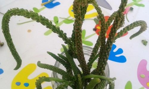 Obradoiro de herbas ventureiras en Bueu con Horta Agrelo.