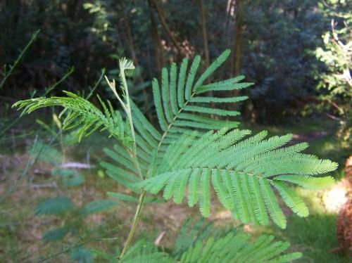 Mimosas en Salcedo.
