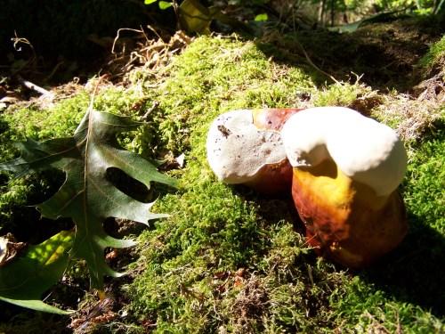 Fungos no monte de Salcedo.